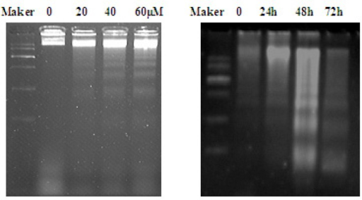 DNA fragmentation induced by EN in MCF-7 cells. The cells were treated with varied concentrations of EN (0, 20, 40 and 60 μM) for 48 h (A)or treated with 40 μM for 24 h, 48 h and 72 h (B). DNA was isolated by agarose gel electrophoresis and analyzed by ethidium bromide staining.