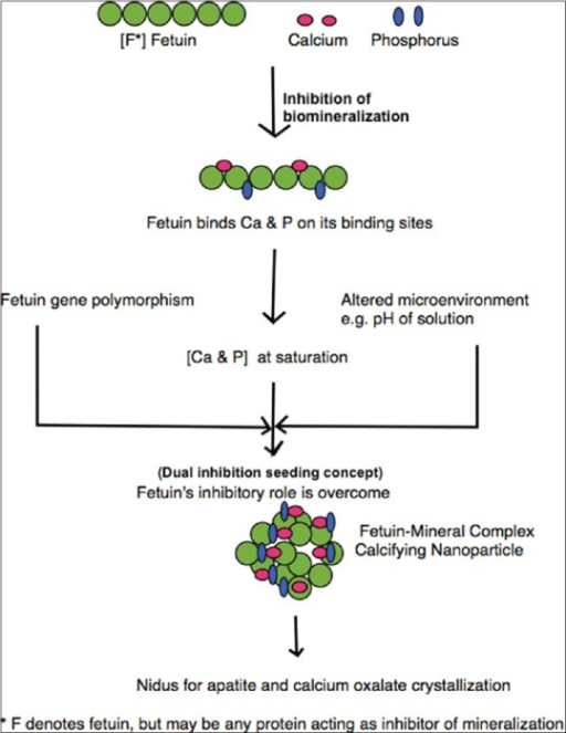 Flow chart showing proposed pathway of formation of calcifying nanoparticles and their role in nephrolithiasis
