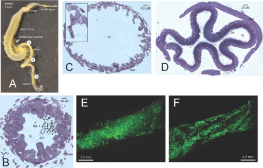 Images of B. impatiens gut (A) from light (B, C and D) and fluorescent microscopy (E and F).(A) shows the whole alimentary canal and general locations where sectioning and imaging were made (multiple individuals were used to create the dissected gut and microscopy images). Section made at (1), (2) and (3) were used to produce images (B), (C) and (D), respectively. Fluorescent images (E) and (F) were produced by visualizing a portion of the ileum located between (1) and (2), and between (2) and (3), respectively. (B) shows both yeast and bacterial cells in the lumen, whereas (C) and (D) show only bacterial cells in the lumen. Villi and longitudinal folds composed of epithelial cells can be observed in (C) and (D), respectively. Insert in (C) shows a villus and bacterial cells (black dots) in greater detail. In (E) and (F), each fluorescing green spot represents one bacterial cell. Abbreviations: ba = bacteria; ep = epithelial cells; lu = lumen; mu = transverse muscle; yc = yeast cell.