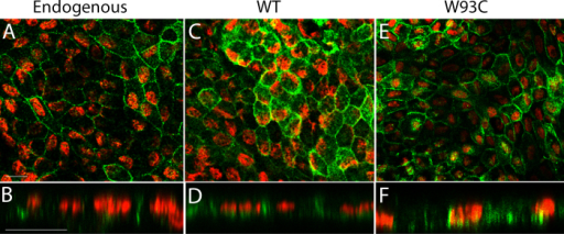 Localization of endogenous hBest1, overexpressed hBest1, and overexpressed hBest1W93C in fhRPE cells. Monolayers of fhRPE were stained for hBest1 expression (green) and examined by confocal microscopy in the X-Y (A, C, E) and X-Z (B, D, F) planes. Endogenous hBest1 (A, B) was observed to be localized to the basolateral plasma membrane, as was hBest1 in monolayers overexpressing hBest1 (C, D) or hBest1W93C (E, F). Nuclei (red) were stained for positional referencing. Scale bars: 20 µM.