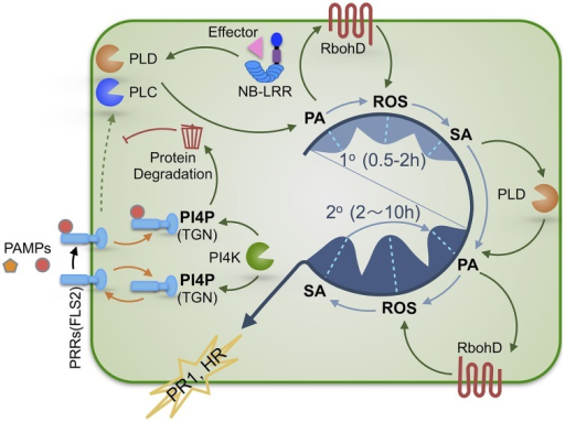 A schematic illustration of the regulatory roles of PA and PI4P in SA-dependent plant defense signaling. Plants activate immune responses upon recognition of PAMPs or effectors by PRRs or NB-LRR immune receptors, respectively. Bioactive PA and PI4P play distinct roles in regulating defense signaling. PA production via immunity-activated PLC and/or PLD is required for SA-dependent defense activation and exhibits a biphasic pattern (1° & 2°) that precedes the kinetically similar biphasic ROS generation and SA accumulation. Therefore, we propose that these three signaling molecules are sequentially interconnected with PA most likely being the initial signal of the PA-ROS-SA signaling module. The first wave (1°) of PA-ROS-SA signal amplification (occurring during PTI and ETI) may potentiate the second wave (2°) of PA-ROS-SA signal amplification (occurring mostly during ETI or strengthened PTI), constituting a tunable signaling module for defense in plant cells. PI4P derived from PI4KIIIβ1 and PI4KIIIβ2 functions to maintain the homeostasis of PRRs via facilitating its recycling and/or degradation, thereby preventing inappropriate activation of PTI in the absence of pathogens and allowing measured PTI signaling upon pathogen attack. PAMPs, pathogen-associated molecular patterns; PTI, PAMP-triggered immunity; ETI, effector-triggered immunity; PRR, pattern recognition receptor; NB-LRR, nucleotide binding site leucine-rich-repeats; PA, phosphatidic acid; PI4P, phosphatidylinositol 4-phosphate; TGN, trans-Golgi network; PLC, phospholipase C; PLD, phospholipase D.