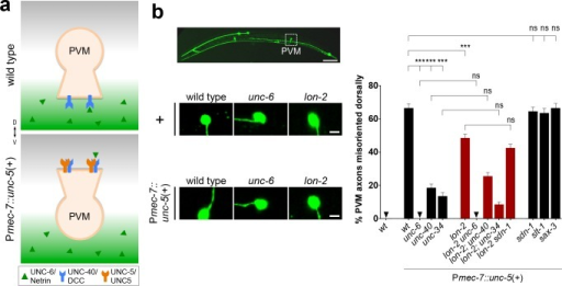 unc-6/netrin signaling via the unc-5/UNC5 receptor requires lon-2/glypican.(A) The axon of PVM normally migrates ventrally in the wild type, but it can be forced to migrate dorsally by misexpressing the repulsive receptor unc-5/UNC5. We quantified PVM since AVM could not be reliably identified (both AVM and neighboring ALMR axons project dorsally in Pmec-7::unc-5 transgenic animals.) (B) Upon misexpression of unc-5/UNC5 in PVM, using the transgene Pmec-7::unc-5, the axon of PVM projects dorsally in an unc-6/netrin-, unc-40/DCC-, and unc-34/enabled-dependent manner. Loss of lon-2/glypican partially suppresses this forced dorsal migration, indicating that unc-6/netrin signaling depends on lon-2/glypican. Scale bar, 5 μm. Error bars are standard error of the proportion. Asterisks denote significant difference: *** p ≤ 0.001 (z-tests, p-values were corrected by multiplying by the number of comparisons). ns, not significant. Wild type (without evIs25) is the same as in Fig 1B.