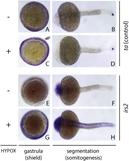 Candidate hypoxia-regulated gene validation. In situ hybridization images for the hypoxia-induced gene irs2 are shown under normoxia (A, B, E, F) and hypoxia (C, D, G, H) at gastrula (6 h) and segmentation (24 h) stages, dorsal view. Increased intensity and tissue distribution of irs2 expression are evident in the hypoxia-exposed group (G, H). In comparison, a control gene (ta) shows no hypoxia-dependent changes in expression (A–D). These figure panels depict additional embryo views and/or specimens analogous to Fig. 2D,E from the primary hypoxia study [1].