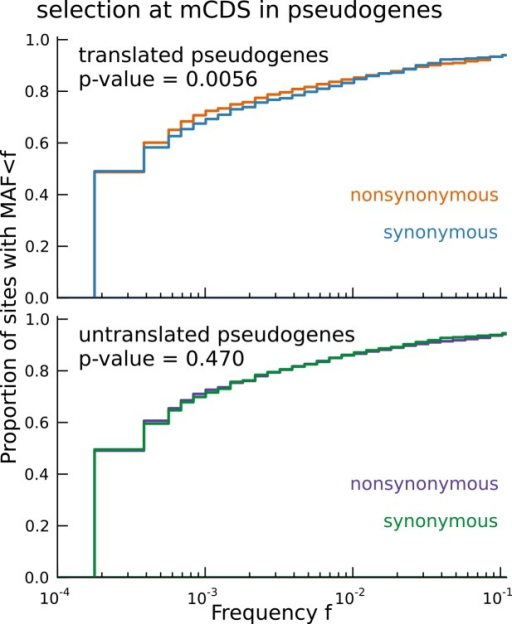 Signature of coding function in translated sequences identified in pseudogenes.Nonsynonymous variants (orange) segregate at significantly lower frequencies than synonymous variants (blue) in those pseudogenes predicted to have a translated CDS. Pseudogenes with ribosome occupancy, but predicted to have no translated CDS, do not show any significant difference between the site frequency spectra of synonymous and nonsynonymous variants.DOI:http://dx.doi.org/10.7554/eLife.13328.020