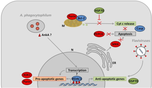 Pathogens inhibit vector cell apoptosis by different mechanisms. After infection of tick salivary glands, A. phagocytophilum inhibit apoptosis by decreasing the expression of the pro-apoptotic genes coding for proteins such as ASK1 and Porin. Porin down-regulation is associated with the inhibition of mitochondrial Cyt c release (Ayllón et al., 2015a). In contrast, A. phagocytophilum infection does not affect Bcl-2 levels, probably because this protein but not Porin is essential for tick feeding (Ayllón et al., 2015a). A. phagocytophilum also induces ER stress in tick cells which play a role in reducing the levels of MKK that inhibits apoptosis (Villar et al., 2015a). Another interesting mechanism of A. phagocytophilum to inhibit apoptosis is the manipulation of glucose metabolism by reducing the levels of PEPCK (Villar et al., 2015a). The capacity of A. phagocytophilum to downregulate gene expression in neutrophils was associated with HDAC1 recruitment to the promoters of target genes by the ankyrin repeat protein AnkA (Garcia-Garcia et al., 2009a,b; Rennoll-Bankert et al., 2015). Tick HDAC1 is overrepresented in A. phagocytophilum-infected salivary glands and chemical inhibition of this protein decreases A. phagocytophilum burden in tick cells (Cabezas-Cruz et al., 2016). Infection of tick cells with flaviviruses results in the up-regulation of genes such as hsp70 that inhibit apoptosis (Mansfield et al., 2017). N, Nucleus; M, Mitochondria; ER, Endoplasmic Reticulum; Cyt c, Cytochrome c; ASK1, Apoptosis signal-regulating kinase 1; MKK, Mitogen-activated Protein Kinase; HDAC1, Histone Deacetylase 1; AnkA, Ankyrin A; PEPCK, Phosphoenolpyruvate Carboxykinase; FOXO, Forkhead box O; Hid, Head involution defective; JNK, Jun amino-terminal kinases; Casp, caspases. The molecules and processes represented in green are up-regulated, while those represented in red are down-regulated in response to infection. The activity of the molecules represented in blue varies in response to infection.