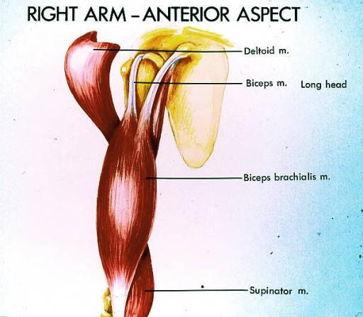 deltoid muscle; biceps brachii muscle; biceps brachiali   Open-i