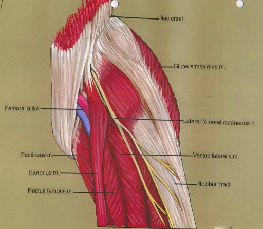 femoral artery; femoral vein; pectineus muscle; sartorius muscle; rectus femoris muscle; iliac crest; gluteus maximus muscle; lateral femoral cutaneous nerve; vastus lateralis muscle; iliotibial tract
