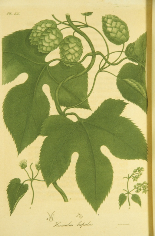 <p>Colored engraving of a common hop plant.</p>