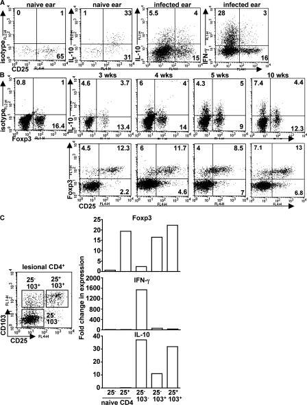 CD4+ T cells producing IL-10 in response to infection with L. major NIH/Sd comprise multiple subsets. (A) Naive ear cells or cells from the chronic ear lesion were stimulated in vitro with PMA and ionomycin for 4 h and analyzed for intracellular cytokine production. (B) A kinetic analysis of IL-10 production and Foxp3 expression was performed on in vitro–restimulated lesional cells at the indicated time points. The data shown are TCRβ+CD4+ cells from six pooled ears from one experiment and are representative of at least three independent experiments. Quadrant values are the percentage of total gated CD4+ T cells. (C) 10 wk after infection, TCRβ+CD4+ ear lesion cells were purified by cell sorting into three subsets according to cell surface expression of CD25 and CD103. Real-time PCR analysis was performed to quantify gene expression of Foxp3, IFN-γ, and IL-10. Data are expressed as the fold change relative to naive CD4+CD25− lymph node cells. Two independent experiments were performed with similar results.