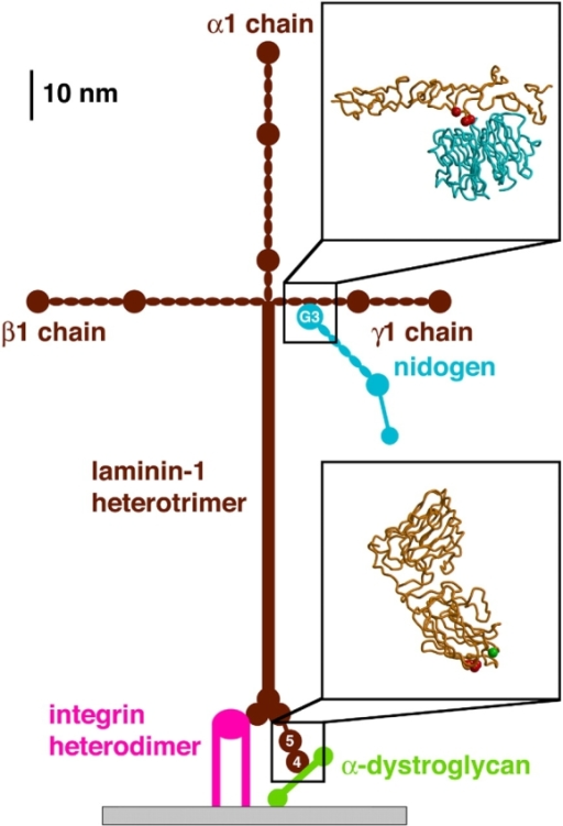 schematic drawing of the cross shaped laminin molecule open i The Laminin Molecule Shirt schematic drawing of the cross shaped laminin molecule and selected interaction partners all proteins