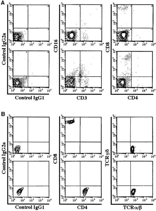 T lymphocytes in fresh cervical preparations and following  clonal expansion. Two-color cytofluorimetric analysis of freshly isolated  cervical mononuclear cells (A) and cervical CTL clones (B) obtained from  HIV-1-infected women: volunteer 737 (A, upper panels), volunteer 747  (A, lower panels), and volunteer 710 (B, both panels). Left-hand plots represent the two antibody isotype controls (IgG1 FITC and IgG2a PE). (A)  Middle plots demonstrate expression of CD3 (FL1) and CD16 (FL2). Surface expression of CD4 (FL1) and CD8 (FL2) are shown in A (right-hand  plots) and B (middle plots). TCRαβ (FL1) and TCRγδ (FL2) are shown in  B (right-hand plot).