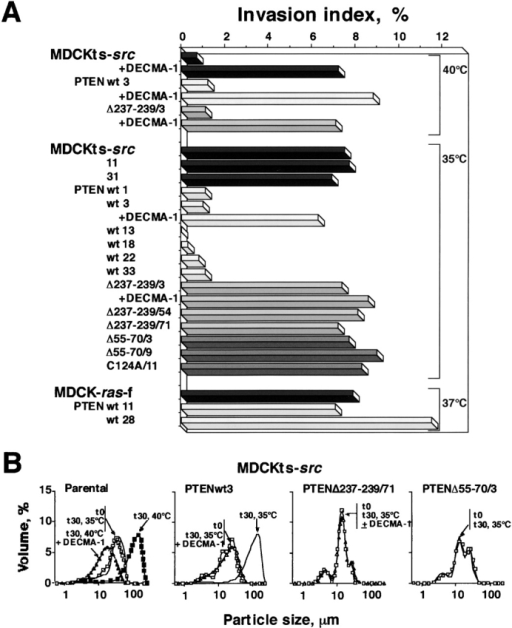 Effects of PTEN expression on the invasive phenotype and cell aggregation of the MDCKts-src and MDCKras-f cell lines. (A) Invasion of type I collagen. MDCKts-src, MDCKras-f cells, and their derivatives transfected by wild-type or mutant PTEN were seeded on type I collagen gel at the restrictive or permissive temperature for Src activity (MDCKts-src) or at 37°C (MDCKras-f cells), and the number and depth of cells inside the gel were measured after 24 h. The dependence of this process on E-cadherin function was assessed by the inactivation of E-cadherin with DECMA-1 mAb. (B) Fast aggregation assay. The activity of junctional complexes in MDCKts-src cells and their derivatives was assessed by the distribution of the size of cell aggregates evaluated at t0 (□) or after a 30-min incubation (t30). Aggregation of parental cells for 30 min at 40°C yielded curves corresponding to particles with large size (left panel, ▪). The same was observed for PTEN (wild-type or mutant) transfectants at 40°C (unpublished data). Src activation at 35°C impaired aggregation of the parental MDCKts-src cells and derivatives expressing mutant PTEN (PTEN Δ237–239/71, PTEN Δ55–70/3, and unpublished data) yielding curves coinciding with the t0 curves (similar results were obtained with the MDCKts-srcΔ55–70 /9 and MDCKts-srcC124A/11 cells; unpublished data). In contrast, aggregation of MDCKts-srcPTENwt3 cells for 30 min at 35°C yielded a curve corresponding to large cell aggregates, which can be superimposed on the one measured at 40°C (unpublished data). Treatment with mAb DECMA-1 against E-cadherin at the restrictive (▴) or the permissive (▵) temperature for Src activity abolished aggregation in all cell types.