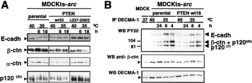 Effects of wild-type or mutant PTEN expression on the accumulation and phosphorylation levels of E-cadherin and associated proteins in MDCKts-src cells and derivatives. (A) Western blotting of E-cadherin, α-catenin, β-catenin, and p120ctn in total cell lysates at permissive and nonpermissive temperature for Src activity. (B) Cell lysates from MDCK, MDCKts-src, and their derivatives grown at 37°C, 40°C, or 35°C were immunoprecipitated with the E-cadherin–specific mAb DECMA-1. The tyrosine phosphorylated components of cadherin–catenin complexes were revealed using the PY20 mAb and the ECL system.