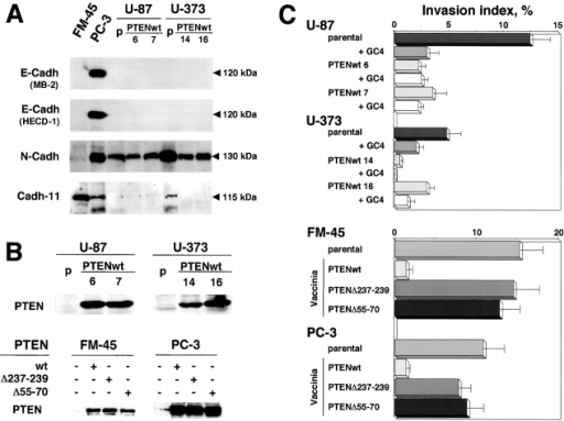 Effect of restoration of PTEN expression on the invasive phenotype of the PTEN-defective human melanoma cell line FM-45, the prostate carci-noma cell line PC-3, and the glioblastoma cell lines U87MG and U373MG. (A) Immunoblot analysis of E-cadherin, N-cadherin, and cadherin-11. Cell lysates (50 μg protein for all cell lines except for U87MGwt14 and U373MGwt16 lysates for which 30 μg was used) were immunoblotted with mAbs directed against E-cadherin (MB-2 and HECD-1), N-cadherin (Zymed), or cadherin-11 (113H), and probed using the ECL system. (B) Analysis of PTEN expression in U87MG and U373MG cells and their derivatives stably transfected by wild-type PTEN, and in FM-45 and PC-3 cell lines transiently expressing wild-type or mutant GFP–PTEN upon vaccinia infection. Cell lysates (100 μg protein) from parental and PTEN-transfected cells were immunoblotted with mAbs directed against PTEN. (C) Invasion of type I collagen by U87, U373, FM-45, and PC-3 cells and their derivatives transfected by wild-type or mutant PTEN. Cells were seeded on type I collagen gels at 37°C and the number and depth of cells inside the gel were measured after 24 h. The dependence of cell migration and invasion on N-cadherin was assessed by the blocking of N-cadherin using GC-4 antibodies (dilution 1:50).