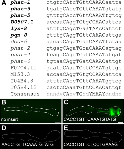 The extended PGM1 is sufficient for gland-specific expression.(A) Alignment of PGM1 occurrences in the promoters of gland-expressed genes. Expression of genes in bold is experimentally verified to be both PGM1 and HLH-6 dependent. (B–E) Fluorescence micrographs of GFP enhancer constructs containing (B) no insert, (C) three tandem copies of the extended PGM1, (D) three tandem copies of the extended PGM1 in which the E-box has been mutated and (E) three tandem copies of the extended PGM1 in which sequence flanking the E-box has been altered. Anterior is at left and the pharynx is outlined. Scale bars represent 10 µm.