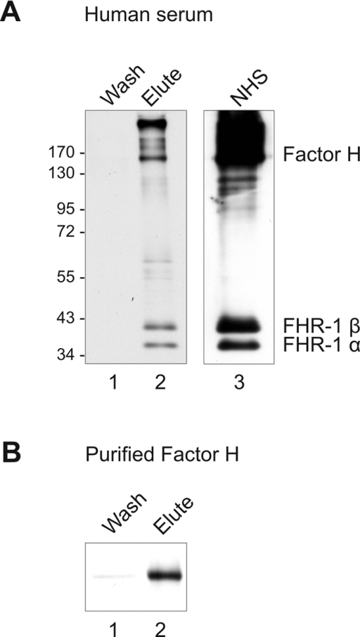 Adsorption of Factor H and FHR-1 to intact S. aureus.Cells of S. aureus strain H591 were incubated in human serum (A) or with purified Factor H (B). After extensive washing, bound proteins were eluted, separated by SDS-PAGE and analyzed by Western blotting using polyclonal Factor H antiserum. (A) In the eluted fraction (lane 2) polyclonal Factor H antiserum reacted with three bands of 150, 43 and 37 kDa representing Factor H, FHR-1β and FHR-1α, respectively. The same proteins were also identified in human serum (lane 3). (B) Purified Factor H bound to the bacteria and was detected in the elute fraction (lane 2). The mobility of the marker proteins is indicated. NHS, normal human serum.