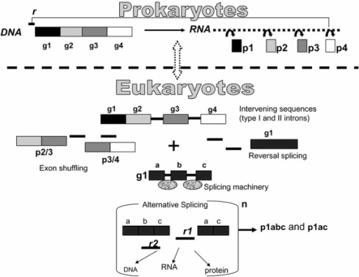 A model illustrating Eukaryotes intron-mediated gene expression versatility. g stays for genes that code for proteins (p). r stays for regulatory elements. The n outside the bracket stays for node which means a DNA locus transcriptionally active. The node is part of a vast gene network, with multiple nodes, that may change anytime during cell life and metabolism. This model should make it appreciable that the presence of introns in Eukaryotes may contribute to the increase of products and regulatory factors without altering the number of the coding genes (four in this example). Eukaryotes versatile expression has been gained in the course of evolution through the occurrence of different events such as the inclusion in protein coding genes of intervening sequences capable of self-splicing (groupI and II introns), exon shuffling, reversal splicing and the entry of the nuclear spliceosome. This latter has contributed to release those sequence constraints present in self-splicing introns. As a consequence, spliceosomal introns increased their sequence variability and may have acquired novel trans-acting regulatory functions. On the opposite, Prokaryotes have maintained their linearity of expression, substantially supported by monocistronic RNAs and few products endowed with simple-circuited regulatory functions.