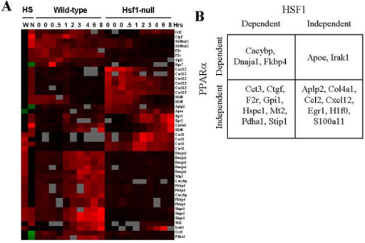 Regulation of heat shock genes by HSF1 and PPARα. Genes which exhibited significant changes in expression due to HS from the dataset of Trinklein et al. (2004) and from the present study were identified. A. Heat map of gene expression changes by HS in wild-type (W) and PPARα- (N) mice compared to the Trinklein et al. (2004) dataset. In the Trinklein et al. (2004) study, mouse embryonic fibroblasts were subjected to HS followed by recovery for the indicated times in hrs. Genes were subjected to one-dimensional hierarchical clustering. Red, up-regulation; green, down-regulation; grey, no data; black, no change. B. Classification of genes based on regulation by PPARα and HSF1.
