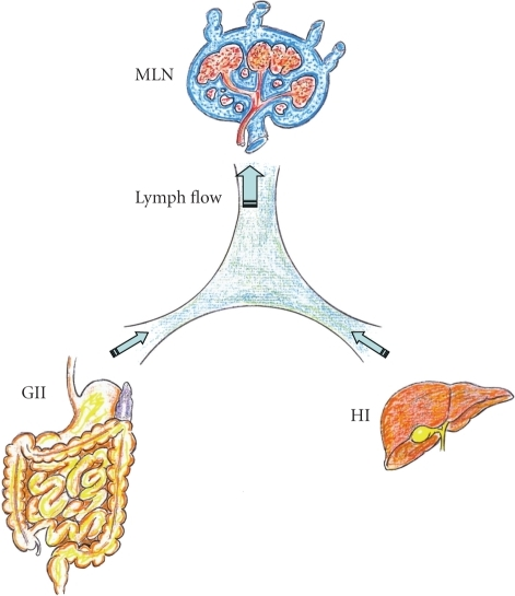 Splanchnic lymphatic flow resulting from the gastrointestinal interstitium (GII) and the hepatic interstitium (HI) is drained through the mesenteric lymph node (MLN) in physiological situations.
