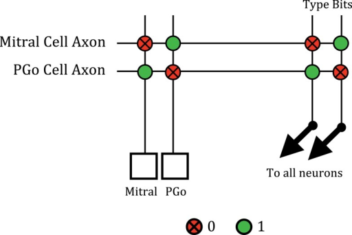 "The reciprocal connections between mitral and PGo cells. Spikes from the mitral or PGo cell are sent off-chip by the AER transmitter and routed back to the appropriate axon. The mitral cell is configured so that a ""10"" type synapse is given a negative weight during synaptic integration. The spike of a PGo cell is routed to its axon in the crossbar which is configured to have a ""10"" type connection to inhibit the mitral cell. Similarly, the PGo cell is configured so that a ""01"" type synapse is given a positive weight. The mitral cell axon produces this type of synapse with the PGo cell to excite it."