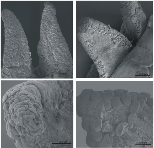 "The muscle fibres terminate in ""mushroom-shaped"" structures.Scanning electron microscopy analyses of the wedge-shaped extensions (cranial margins of individual tail muscles) projecting from the proximal end of the released tail stump demonstrated the presence of ""mushroom-shaped"" structures at the termini of the muscle fibres after autotomy. These structures are present on all sides of the extensions except on the outer part."