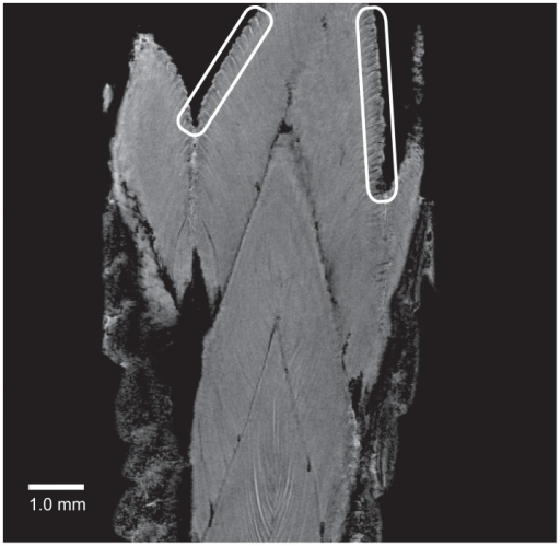 "Cross-fracture-plane structures are absent in the gecko tail.Magnetic resonance imaging was used to analyse a detached tail stump (see also Movies S1–S3). The data revealed the structures of the muscle fibers in the different segments of the gecko tail. Two areas have been encircled to point out the position of the muscle fiber termini neighbouring the autotomy fracture plane. The image illustrates the expanded nature of these termini. The presence of these ""mushroom-shaped"" structures in the fracture plane and the absence of these structures in the interior muscle fibers illustrate the conformational change of the muscle termini that occurs during autotomy. The interdigitating arrangement of the muscle fibers are observable and the picture also shows that no through-going structures between muscle segments are observable, thereby supporting the concept that tail segments interact by adhesion forces."