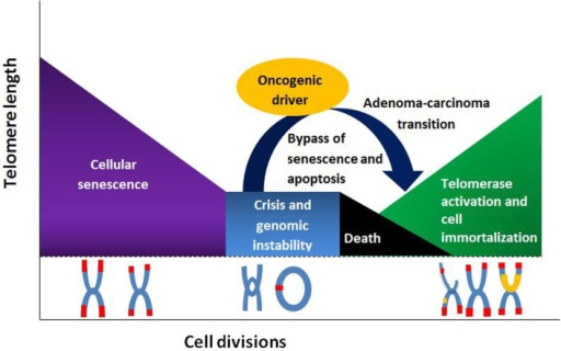 Telomere length and its relationship to cell division, senescence, and senescence by-pass.