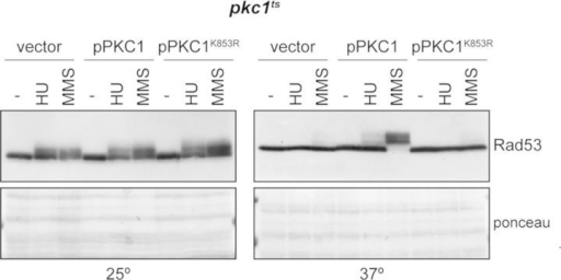 Analysis of Rad53 checkpoint kinase activation by a kinase-dead Pkc1 mutant protein. Exponentially growing cultures of the pkc1ts (JC6-3a) strain transformed with a centromeric plasmid containing the PKC1, the PKC1K853R (kinase-dead mutation) gene or an empty vector were split and incubated for 3 h at 25º or 37º followed by 1 h incubation in the absence or presence of 0.2 M HU or 0.04% MMS. Activation of the checkpoint kinase Rad53 was determined by western analysis. The ponceau staining of the membrane is shown as loading control.