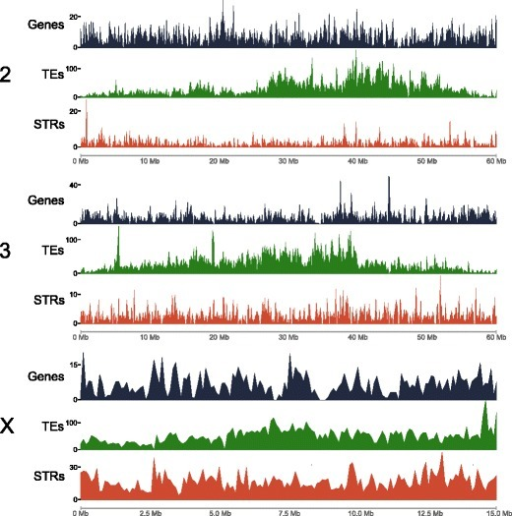 Genome landscape. Density of genes (black vertical lines), transposable elements (TEs; green vertical lines), and short tandem repeats (STRs; red vertical lines) in 100 kb windows of mapped scaffolds. Based on the physical map, scaffolds were ordered and oriented respective to their position in the chromosomes and then 100 kb non-overlapping windows were generated for each scaffold (X-axis). The density of genes and TEs (Y-axis) was determined using coverageBed. Satellite sequences were identified using TandemRepeatFinder. The short tandem repeats track is a combination of the number of microsatellites, minisatellites, and satellites per 100 kb window.