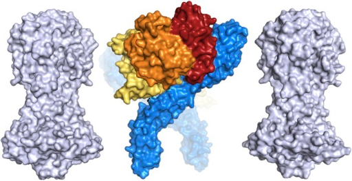 A comparison of the dimensions of the TbHpHbR:HpHb complex with those ofthe N-terminal domains of the variant surface glycoproteins (shown ingrey).This suggests that HpHb will lie at least partially within the VSG layer whenbound to two receptors.DOI:http://dx.doi.org/10.7554/eLife.05553.020