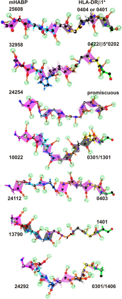 Spz- and Mrz-derived mHABP fragments binding to the HLA-DRβ1* PBR.Side view of mHABPs binding to the HLA-DRβ1* PBR (as assessed by 1H-NMR) displaying the residues according to the colour code: p1 (fuchsia), p2 (red), p3 (pale blue), p4 (dark blue), p5 (pink), p6 (orange), p7 (grey), p8 (yellow) and p9 (green). The dotted balls in light green represent the nonbonding free electron pairs able to establish H bonds with the HLA-DRβ1*PBR residues. The pink planes mark peptide bonds.