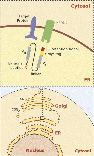 ScFv intrabody targeted to the ER. Shown is the ER intrabody as scFv fragment. VH= variable domain of the heavy chain, VL= variable domain of the light chain. The VH and VL domains are fused by a 15 amino acid flexible linker shown as a black line. The red line at the N-terminus of the VH domain represents the ER signal peptide. The red rectangle at the C-terminus of the VL domain represents the ER retention sequence and the yellow rectangle the c-myc tag. In addition is shown the target protein (cell surface molecule) and the hERD2 receptor that binds to the ER retention sequence of the scFv fragment. The complex consisting of the scFv fragment and the target protein binds to the hERD2 receptor inside the cis-Golgi and is transported through the Golgi apparatus back to the ER where the scFv-target protein complex is released. (CGN: cis-Golgi Network, TGN: trans-Golgi Network).
