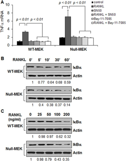 RANKL stimulation increases the expression of TNFα in renal epithelial cells.(A) The mRNA levels of TNFα in Pkd1 wild type and Pkd1  MEK cells treated with RANKL, SN50, RANKL plus SN50, Bay-11-7085, Bay-11-7085 plus RANKL and vehicle control, respectively, for 6 hours were analyzed by qRT-PCR. The expression levels of TNFα were normalized to the expression levels of actin. n = 3, ANOVA, p < 0.01. (B and C) Western blot analysis of the expression of I-κBα from whole cell lysates of Pkd1 wild-type and Pkd1  MEK cells treated with RANKL (100 ng/ml) at indicated time point (B) and at indicated concentration for 45 mins (C). The numbers at the bottom indicate the relative intensities of the bands, which are normalized to Actin.