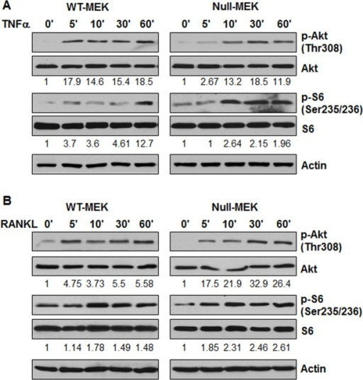 TNFα and RANKL stimulation activate the Akt and mTOR pathway.Western blot analysis of the expression of phospho-Akt, Akt, phospho-S6, and S6 from whole cell lysates of Pkd1 wild-type and Pkd1  MEK cells treated with TNFα (20 ng/ml) (A) and RANKL (100 ng/ml) (B). The numbers at the bottom indicate the intensities of p-Akt relative to total Akt and p-S6 relative to total S6.