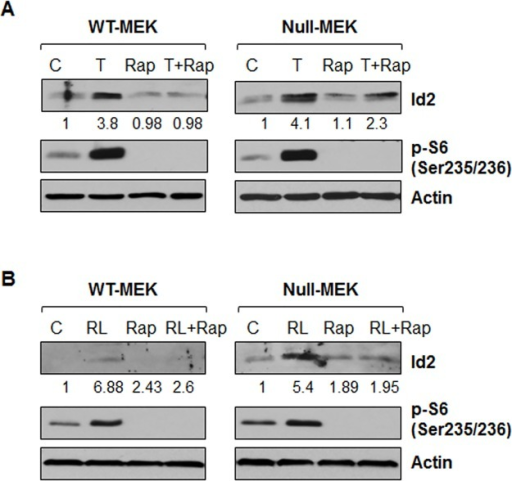 Inhibition of mTOR with rapamycin blocks the upregulation of Id2 induced by TNFα and RANKL.Pkd1 wild-type and Pkd1  MEK cells were not treated (C) or treated with TNFα (T) (20 ng/ml) (A), RANKL (100 ng/ml) (B) in the absence or presence (Rap) of rapamycin (10 nM) for 3 hours. The expression of Id2 and phospho-S6 (p-S6) were analyzed by western blot. The numbers at the bottom indicate the relative intensities of the Id2 bands, which are normalized to actin.
