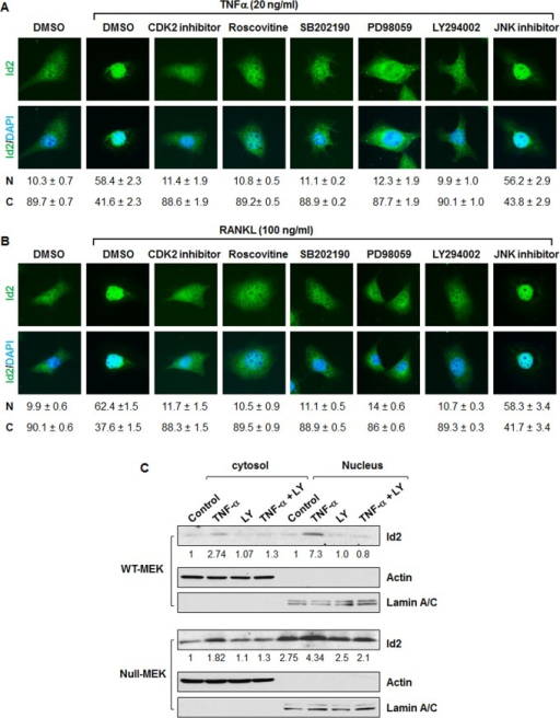 Inhibition of Cdk2 blocks nuclear translocation of Id2 induced by TNFα and RANKL.Localization of Id2 in Pkd1 wild type MEK cells after TNFα (A) and RANKL (B) treatment in the presence of kinase inhibitors. Pkd1 wild type MEK cells were placed in DMEM F12 containing 1% FBS for 12 hours. Serum starved cells were treated with DMSO or the indicated kinase inhibitors for 3 hours. Inhibitor pre-treated cells were untreated or stimulated with TNFα and RANKL for 3 hours. Id2 was detected with an anti-Id2 antibody, followed by Fluro 488 conjugated anti-rabbit IgG antibody (Green). Nuclear DNA was stained with DAPI (Blue). One result, representative of three independent experiments, is shown. Percentage of cells with nuclear (N) and cystoplasmic (C) localization are indicated below the images. (C) Western blot analysis of the expression of Id2 from cytoplasmic and nuclear fractions of Pkd1 wild-type and  MEK cells treated with TNFα, LY294002 (LY), TNFα plus LY294002, and vehicle control for 3 h. The numbers at the bottom indicate the intensities of Id2 bands relative to actin and Lamin A/C in cytoplasmic fractions and nuclear fractions, respectively.