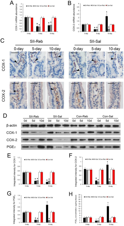 Expression changes of COX-1, COX-2, and PGE2 after rebamipide administration.(A-B) The mRNA expressions of COX-1 (A) and COX-2 (B) in the small intestine of the four groups were shown (n = 6, *P < 0.05 when compared with Con-Reb and Con-Sal groups; &P < 0.05 when compared with SII-Sal, Con-Reb, and Con-Sal groups). (C) Immunohistochemistry staining for COX-1 and COX-2 in small intestinal epithelium of the SII-Reb and SII-Sal groups was shown. COX-1 and COX-2 positive cells were detected in the subepithelial area (black arrowheads; bar indicates 25μm). (D) Protein levels of COX-1, COX-2, and PGE2 indicated by Western blots analysis. (G-I) The integrated intensities of bands for COX-1, COX-2, and PGE2 (n = 6, *P < 0.05 when compared with Con-Reb and Con-Sal groups; &P < 0.05 when compared with SII-Sal, Con-Reb, and Con-Sal groups). (H) The concentrations of PGE2 in the small intestine of the four groups were shown (n = 6, *P < 0.05 when compared with Con-Reb and Con-Sal groups; &P < 0.05 when compared with SII-Sal, Con-Reb, and Con-Sal groups).