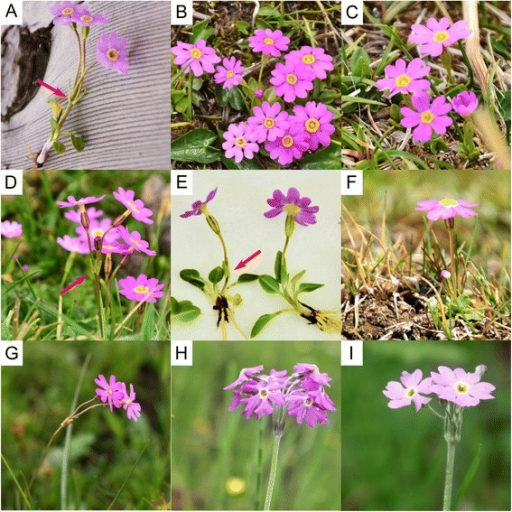 The five species of sect. Armerina which showed mainly incongruence between the two trees. (a) P. fasciculata with linear and non-pouched bracts, (b) P. fasciculata without bracts, (c) one photo of P. fasciculata collected from populations of clade F2 (see Results), (d) P. tibetica with oblong and pouched bracts at low altitude, (e) and (f) P. tibetica with and without bracts at high altitude, respectively, (g) P. nutans, (h) P. gemmifera, (i) P. conspersa. Bracts for P. fasciculata and P. tibetica are indicated by red arrows. All photos were taken by the first author in the field