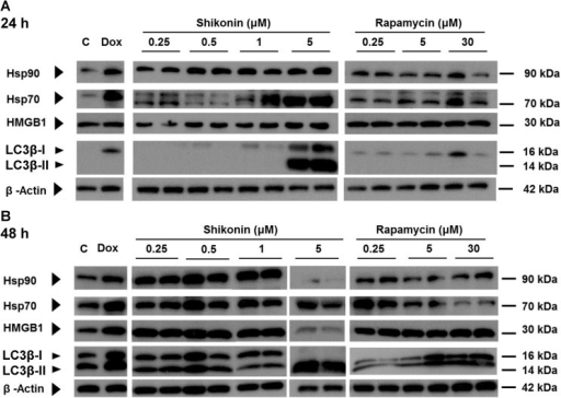 In vitro effect of shikonin and rapamycin on expression of immunogenic cell death and autophagosome markers in mouse 4T1 mammary carcinoma cells.4T1 cells were treated with test compounds doxorubicin, shikonin and rapamycin at the indicated concentrations for (A), 24 hours or (B), 48 hours. Tumor cell lysate samples were then prepared with a standardized protocol, as described in Materials and Methods, and subjected to western blot analysis. The results are representative of three independent experiments.