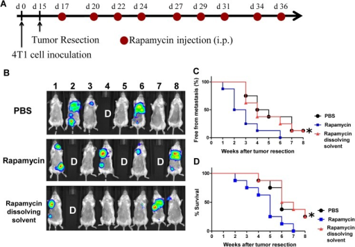 "Administration of rapamycin in vivo promotes metastasis of 4T1 cells in a tumor resection mouse model.(A), Schema for treatment. Mice were injected subcutaneously with 4T1-Luc2 cells (5 × 105 cells/100 μl PBS/mouse) into mammary fat pad under isoflurane anesthesia at day 0. At 16 days post tumor cell implantation, primary tumors were surgically resected. Test mice were administered with saline, Rapamycin (0.75 mg/kg) or rapamycin-dissolving solvent (vehicle control, 4% ethanol, 5% polyethylene glycol 400, and 5% Tween 80) by intravenous injection for 3 weeks (3 injections/week). (B), Representative in vivo bioluminescent images of test mice (n = 8) treated with saline, rapamycin and vehicle control solvent at 4 weeks post tumor resection. The red signals represent the highest level on the colorimetric scale. Labelling with ""D"" in photograph denotes the mice that had died before 4 weeks post tumor resection. (C), Quantification of tumor metastasis burden in mice treated within the indicated time course as revealed by bioluminescence imaging for luciferase activity. (D), Survival time of mice after treatment with the indicated test agents. *, the p values, P < 0.05, when the rapamycin-treated group was compared with the vehicle (dissolving solvent) control group."