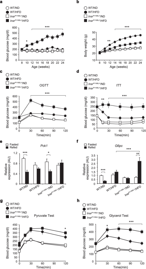 InsrP1195L/+/HFD mice exhibit glucose intolerance, insulin resistance, and increased gluconeogenesis from glycerol.(a) Blood glucose levels of InsrP1195L/+ and WT mice fed ad libitum (n = 8–10 per each group). (b) Body weight of InsrP1195L/+ and WT mice (n = 8–10 per each group). (c) OGTT (n = 8–10 per each group). (d) ITT (n = 6–10 per each group). (e,f) mRNA expressions of Pck1 (e) and G6pc (f) in liver (n = 10–12 per each group). (g,h) Blood glucose levels after pyruvate (g) and glycerol (h) administration (n = 10–12 per each group). Data are mean ± SEM. Only the statistical difference between WT/HFD and InsrP1195L/+/HFD mice is depicted by asterisks in (a–d,g,h). Significance between strains (WT/HFD and InsrP1195L/+/HFD mice) at individual time points by two-tailed Student's t-test (a–d,g,h). Two-way ANOVA plus Bonferroni post-hoc analysis (e,f). *P < 0.05, **P < 0.01, ***P < 0.001.