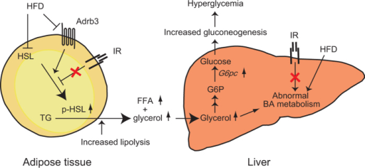 Model for pathophysiological mechanism of hyperglycemia in InsrP1195L/+/HFD mice.See text for detail.