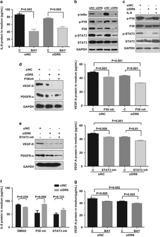 DR6 mediates tumor angiogenesis through the NF-κB, IL-6/P38 MAPK and IL-6/STAT3 pathways. (a) Secreted IL-6 protein in B16 cell cultured media detected by ELISA. B16 cells were transfected with siDR6 or control (siNC) for 48 h and then treated with BAY or DMSO as a solvent control (C) for 12 h. (b) The levels of phosphorylated IκBα (p-IκBα) phosphorylated P38 (p-P38), phosphorylated STAT3 (p-STAT3), P38 and STAT3 were evaluated by western blot assays. (c) The detection of p-P38, total P38, p-STAT3 and total STAT3 proteins in DR6-deficient B16 cells by rescue experiment. B16 cells were transfected with siDR6 or control (siNC) for 48 h and then treated with IL-6 for 12 h. (d, e) The VEGF-D and PDGFR-α proteins in B16 cells lysate and VEGF-A protein in B16 cell cultured media detected by western blot or ELISA assays. (f) After 12 h treatment with DMSO, P38 inhibitor and STAT3 inhibitor, the secreted IL-6 protein levels from B16 cells with transfected siNC and siDR6 were examined by ELISA. (g) The secreted VEGF-A protein in the B16 cultivated media was examined by ELISA. The error bars represent the standard deviation of the mean values obtained from triplicate experiments. P<0.05 is considered statistically significant.