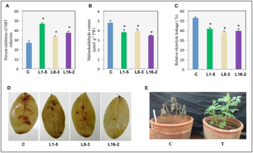 Response of transgenic plants expressing PgeIF4A to salinity stress. One month old control and transgenic plants were imposed with salinity stress (250 mM NaCl) for 2 weeks. (A) SOD activity (% inhibition of NBT). (B) Lipid peroxidation (malondialdehyde content). (C) Relative electrolyte leakage percentage. (D) DAB (3,3′-Diaminobenzidine) staining of WT and transgenic groundnut leaves. (E) Control (C) and PgeIF4A expressing transgenics (T) allowed to recovery after salinity treatment. Data represented as mean of ±SE (n = 3) using one way ANOVA. *Denotes significant difference between WT treated and transgenics (L1-5, L8-3, and L16-2) at p < 0.05.