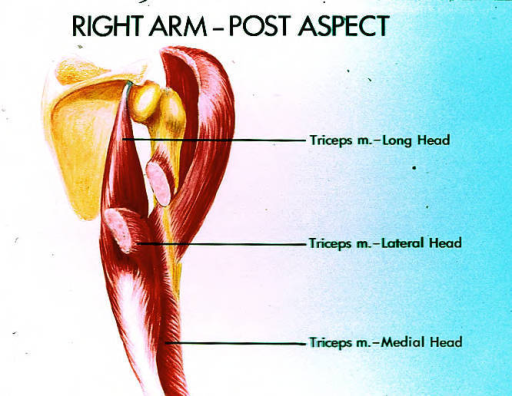 right arm; triceps brachii muscle