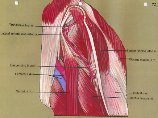 lateral femoral circumflex artery; femoral artery; sartorius muscle; tensor fasciae latae muscle; gluteus maximus muscle; iliotibial tract; rectus femoris muscle