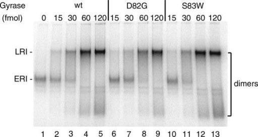 GyrA D82G gyrase supports DNA replication less efficiently than the wild-type gyrase. The standard oriC replication reactions contained an oriC plasmid pBROTB535 type I (35 fmol as molecule = 420 pmol nt) as a template and the reaction was incubated at 30°C for 10 min. Incorporations of nt into acid-insoluble products were: 35 (lane 1), 43 (lane 1), 68 (lane 3), 115 (lane 4), 142 (lane 5), 44 (lane 6), 59 (lane 7), 88 (lane 8), 120 (lane 9), 51 (lane 10), 77 (lane 11), 132 (lane 12) and 154 (lane 13) pmol nt. LRI and ERI are late and early replication intermediates, respectively. Abbreviations were as in the legend to Figure 1.