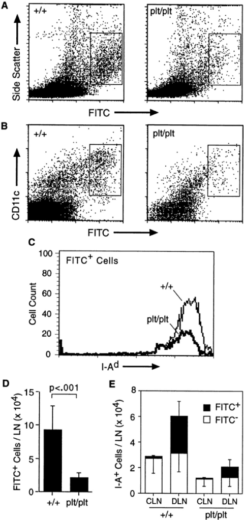 Decreased migration of skin DCs to LNs in plt mice after  contact sensitization with FITC. (A) The shaved abdomens of +/+ and  plt mice were painted with 2 mg FITC. After 24 h draining LNs were removed, dissociated, normalized to the total number of cells per LN, and  analyzed by flow cytometry. A decreased number of large FITC+ cells  (boxed area) can be seen in plt mice. One of eight representative experiments is shown. (B) Representative FACS® profile showing a marked decrease of CD11c+ FITC+ cells in plt mice after FITC skin painting. (C)  Draining LN cells from FITC-painted mice were partially purified on metrizamide gradients, stained with biotinylated anti–I-Ad followed by  SA-PerCP, and analyzed by flow cytometry. Only large FITC+ cells  (boxed areas in A) are shown. (D) The number of FITC+ DCs (boxed areas  in A) that accumulate in LNs after skin painting with 2 mg FITC is  reduced in plt mice. Numbers represent mean ± SD (n = 8). (E) Comparison of DC content in contralateral (CLN) and draining (DLN) inguinal  LNs in mice painted on one flank with 0.2 mg FITC. Single cell suspensions were prepared from individual LNs, stained with anti–I-Ad and anti-B220, and analyzed by flow cytometry gated on I-A+ B220− cells.