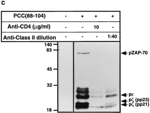 Effect of anti-CD4 antibody on antigen-induced tyrosine  phosphorylation of TCR subunits. (a) 3C6 T cells (1 × 107) were stimulated with I-Ek-transfected L cells and PCC(88–104) (100 μM) for 10  min in the presence of increasing concentrations of anti-CD4 mAb (RM  4.5) or anti-class II mAb (14-4-4S). Cell were lysed with lysis buffer containing 1% Triton X-100, and TCR subunits were immunoprecipitated  using a mAb against mouse CD3ε (500A2). Immunoprecipitates were immunoblotted using a mAb against phosphotyrosine (4G10). (b) Optical  density of the pp21, pp23, and the pZAP-70 signals from three independent experiments was measured using an imaging densitometer, and the  pp23/pp21 and pZAP-70/pp21 ratios displayed. (c) 3C6 T cells (1 × 107)  were stimulated with I-Ek-transfected L cells and PCC(88–104) (100 μM)  for 10 min in the presence of anti-CD4 mAb (RM 4.5) or anti-class II  mAb (14-4-4S). Cell were lysed with lysis buffer containing 1% Triton  X-100, and TCR subunits were immunoprecipitated using a mAb against  mouse ZAP-70. Immunoprecipitates were immunoblotted using a mAb  against phosphotyrosine (4G10).
