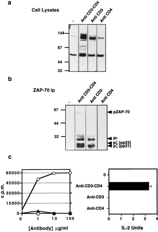 Biochemical and functional consequences of anti-CD3–fos,  anti-CD4–jun, or anti-CD3–fos × anti-CD4–jun bivalent cross-linking.  Tyrosine phosphorylation in cloned T cells after CD3 cross-linking,  CD3/CD4 cocross-linking, or CD4 cross-linking. T cells (1 × 107 per  sample) were stimulated with the 10 μg/ml of antibody in 100 μl of medium for 10 min. Cells were then lysed and a portion of the lysate used  for immunoprecipitation with an antiserum against ZAP-70. Both cell lysates (a) and ZAP-70 immunoprecipitates (b) were electrophoresed and  immunoblotted using anti-phosphotyrosine antibody. (c) Cell proliferation and IL-2 production by T cells stimulated with soluble anti-CD3– fos, anti-CD4–jun, or anti-CD3–fos × anti-CD4–jun antibodies.
